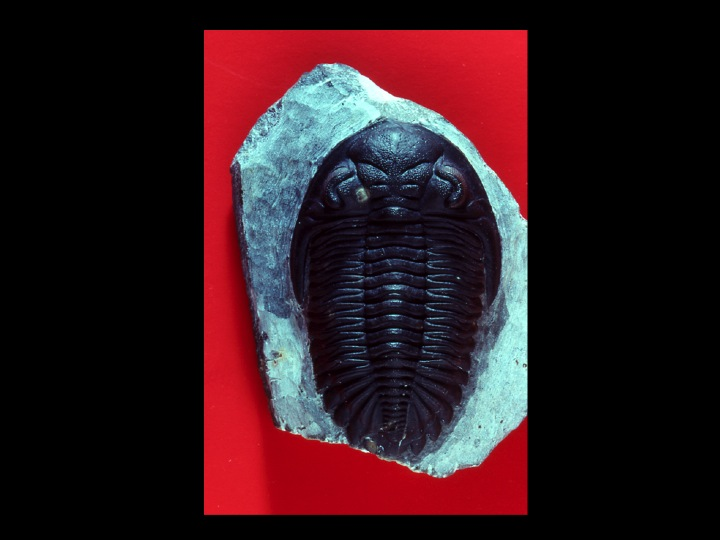 A Devonian trilobite in the collections of the American Museum of Natural History. Image by Andrew Modell.