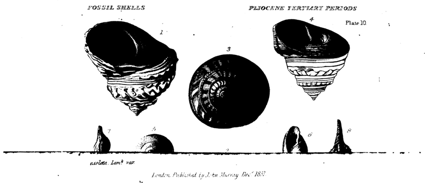 Image of Tertiary fossil snails from page 73 of Lyell's  Principles of Geology , Volume 4.