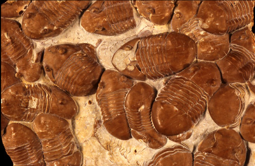 Homotelus bromidensis  from the Ordovician of Oklahoma. Image by BSL, specimens from the Yale Peabody Museum of Natural History.