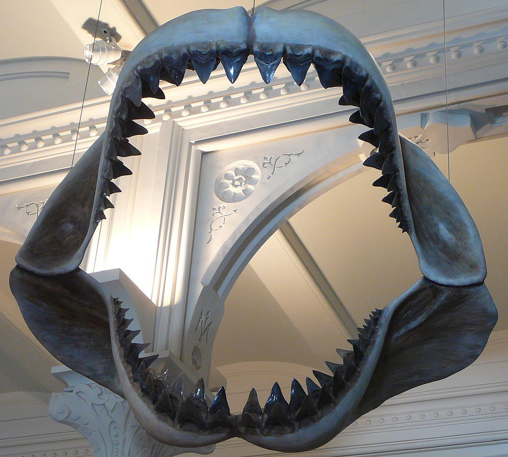 Model of Megalodon jaws on display at the American Museum of Natural History, from  https://commons.wikimedia.org/wiki/File:Megalodon_shark_jaws_museum_of_natural_history_068.jpg