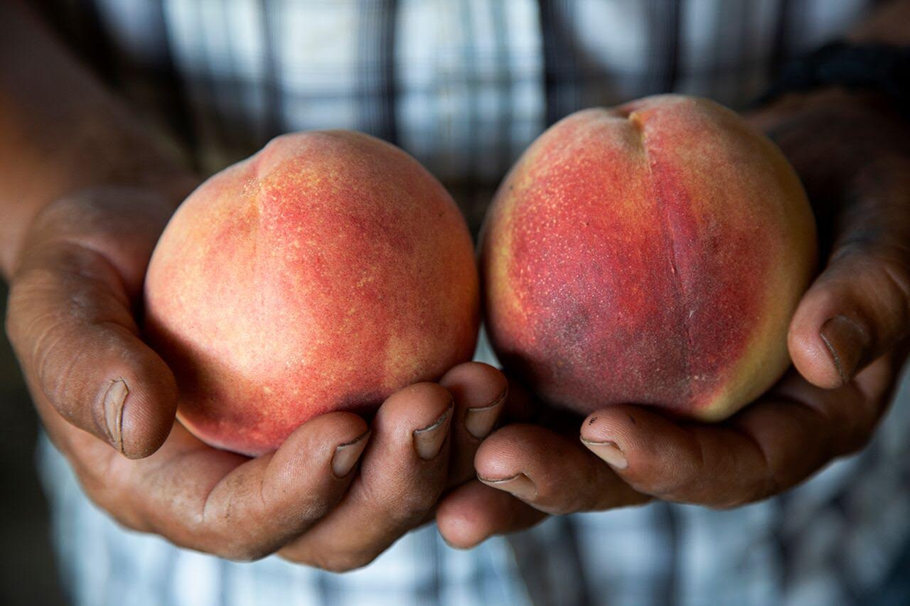 We work year-round to create the healthiest orchard environment and soil. During harvest, our peaches ripen on the tree as long as possible. We hand-pick, hand-sort, and hand-pack all our fruit, nothing is done by machine. -