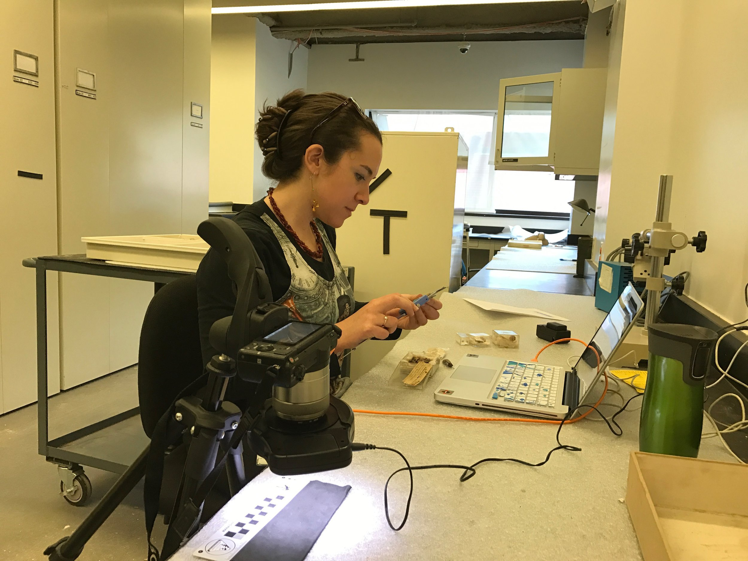 Measuring fossil lizards in the vertebrate paleontology collections at the American Museum of Natural History, New York, NY.