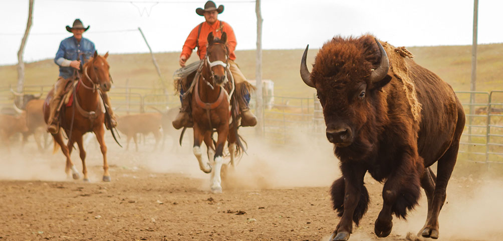 Rounding up the bison at the Flying W Ranch