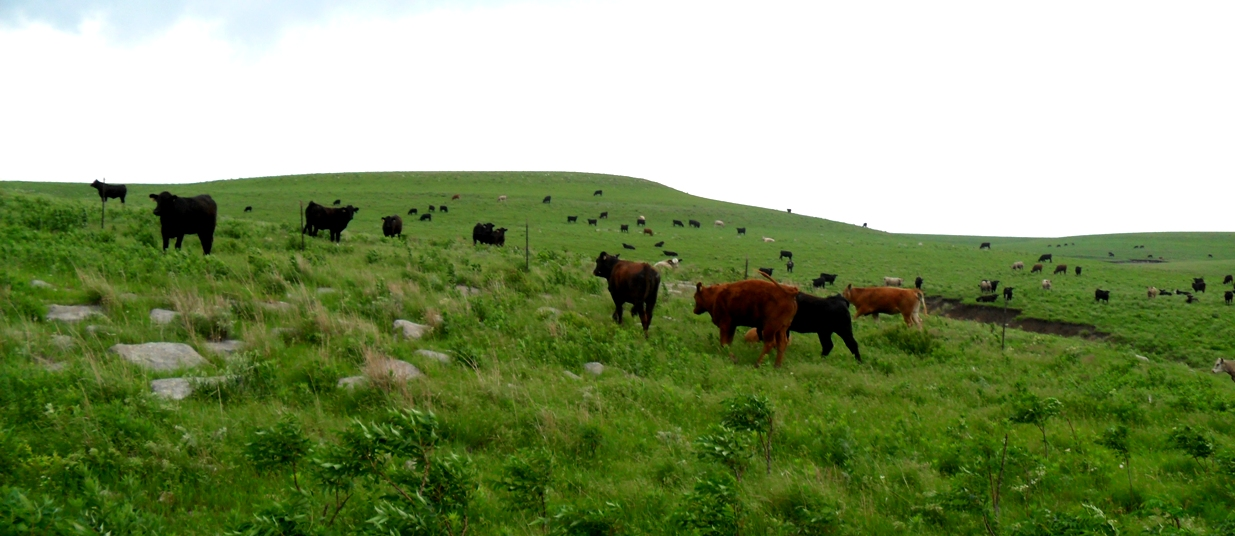 Cattle in the tallgrass prairie.JPG