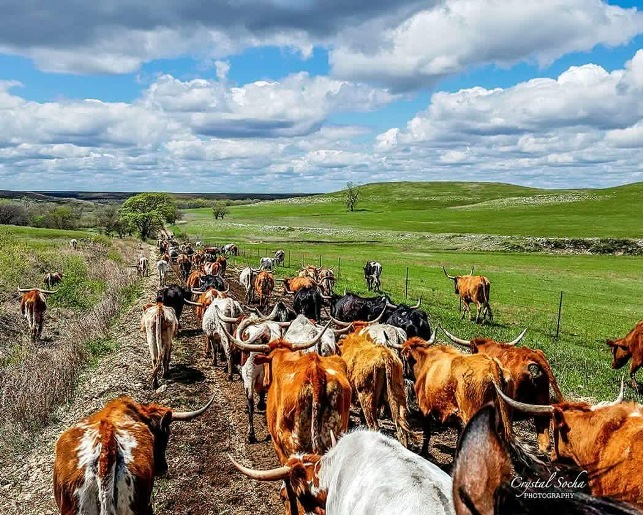 cattle-drive-view.JPG