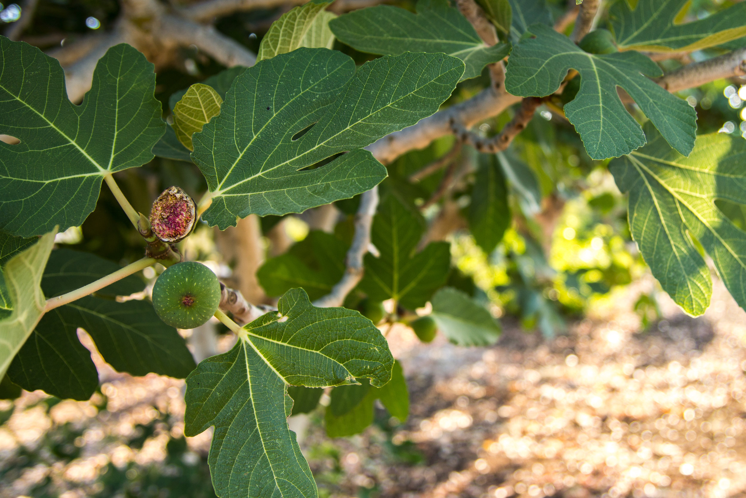 Figs are also coming into season now.. just barely!