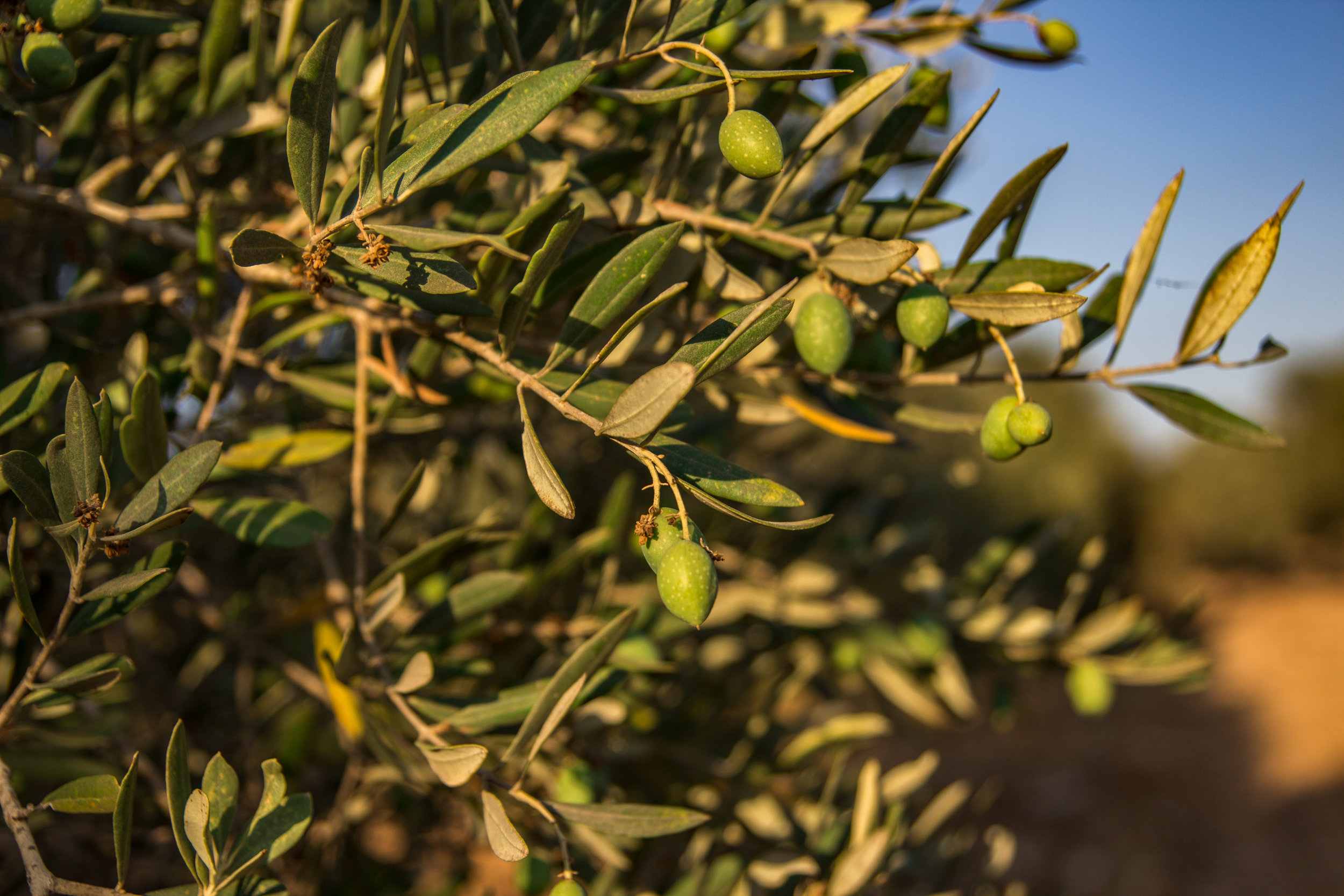 We took a short walk through an olive grove to see the scenery - it was so beautiful!  I'm determined to make my own olives some day.