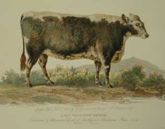 "George Garrard's engraving of ""A Fat Galloway Heifer"" dated between 1799 and 1814"