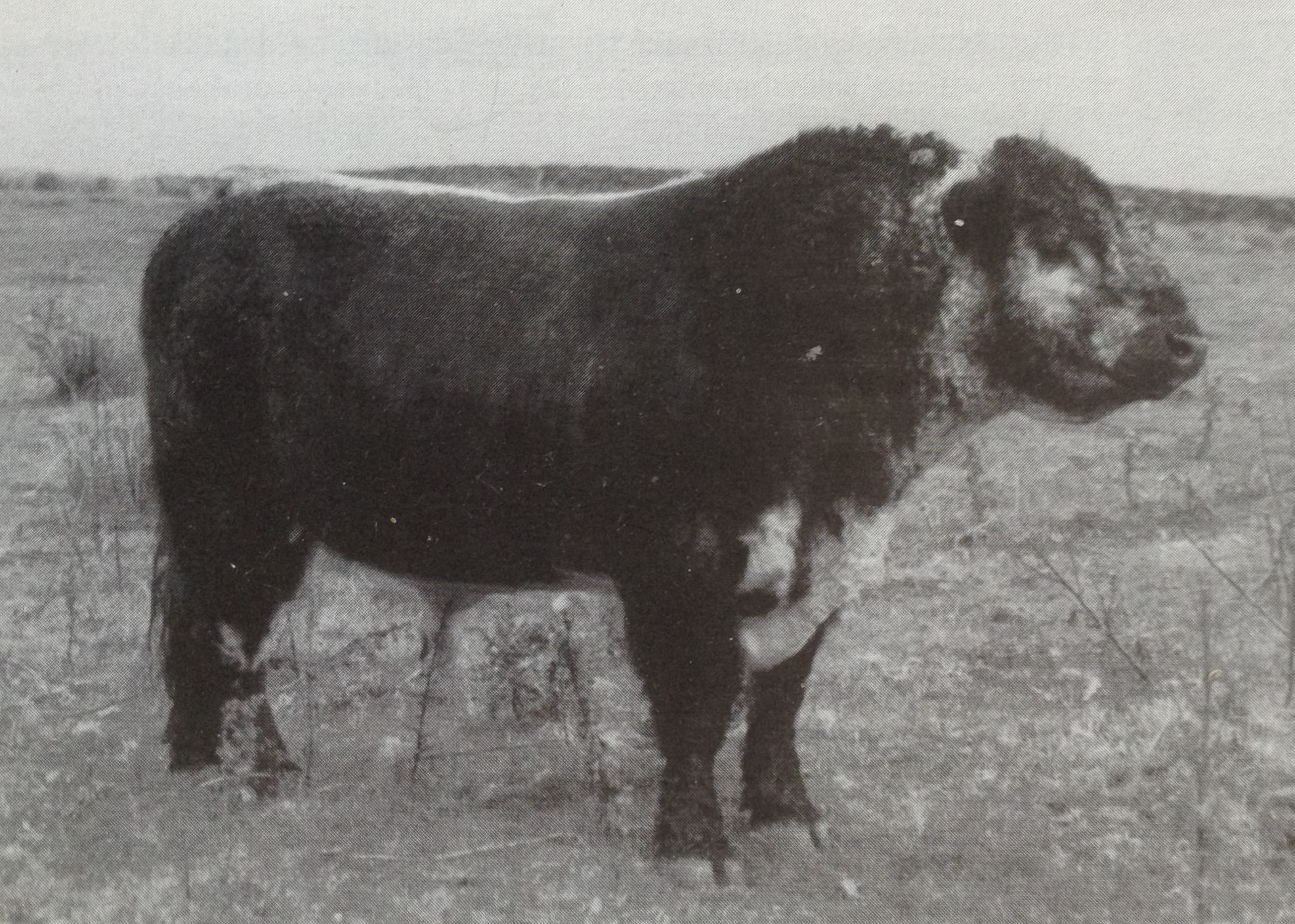 Kyle Brock (probably 1988), one of the first Riggit Galloway bulls recognised by Miss Flora Stuart