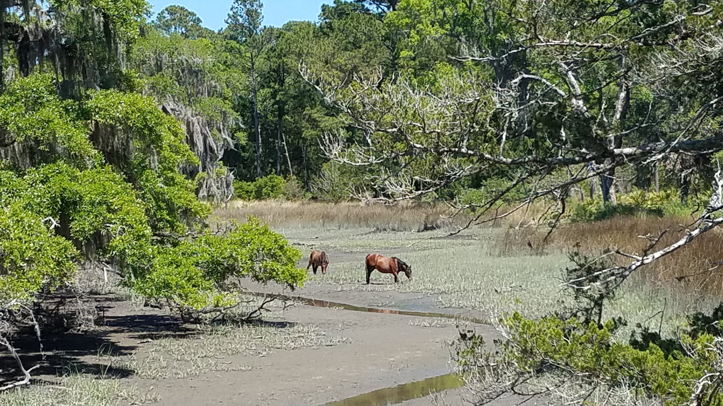 The feral horses of Cumberland Island. For more go to www.wheretraveler.com