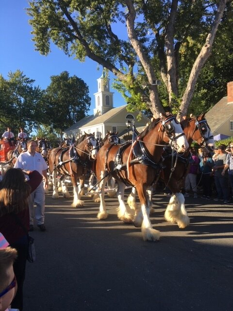 Budweiser Clydesdales marched in the parade (2016).