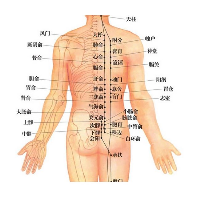 """Your spine houses all of your nerves and connects all your organs to the brain. When something goes wrong in that neuropathway, acupuncture needles can come in to target the spine level where the nerves are affected. We call those """"back shu"""" points. I often use back shu points for chronic conditions of certain organs, boost immune system for patient with allergies. . . . . #acupunctureneedles #backshu #backshupoints #neckandback #spine #spinehealth #autonomoussensorymeridianresponse #nervepain #nerves #acupunctiurclinic #lingliacupuncture"""