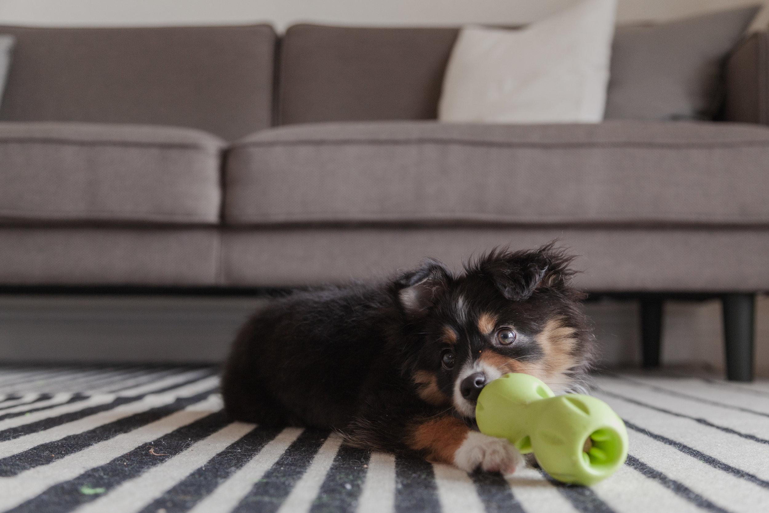 One year with a mini australian shepherd puppy -