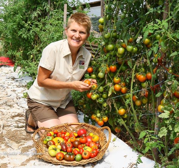 Annette Reid harvests tomatoes in preparation for last years festival