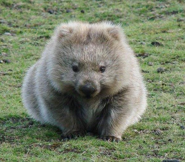 wombat-cutie-cropped.jpg