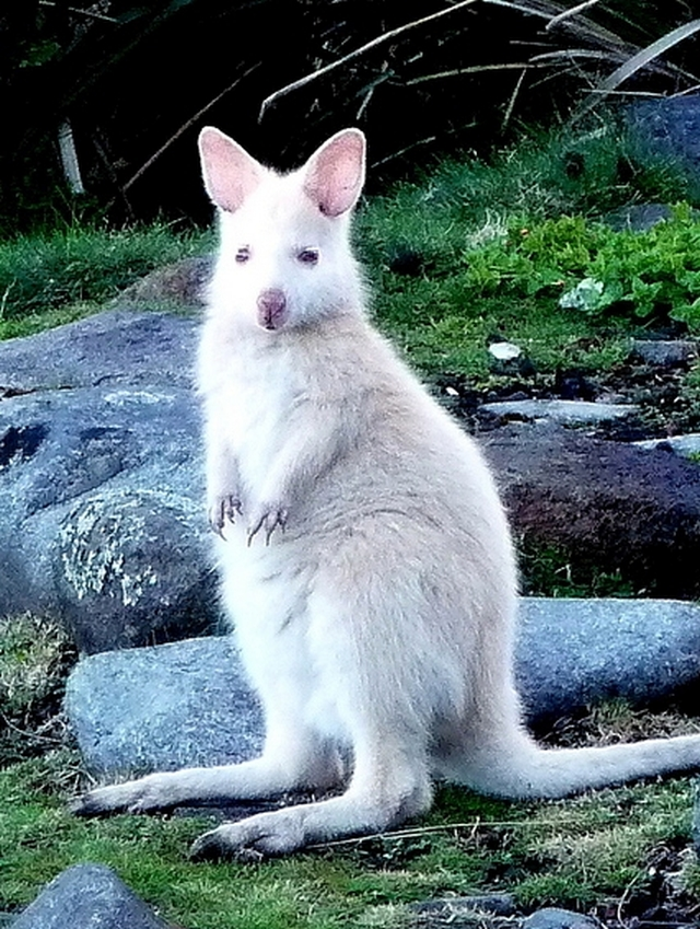 27-White-Wallaby.jpg