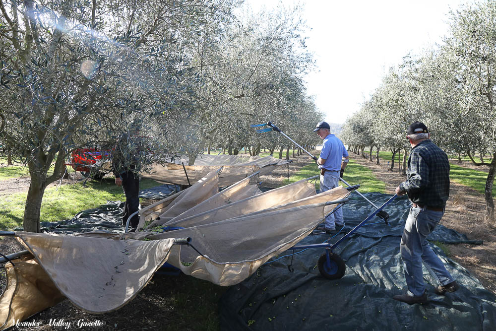 Olive-grove.jpg