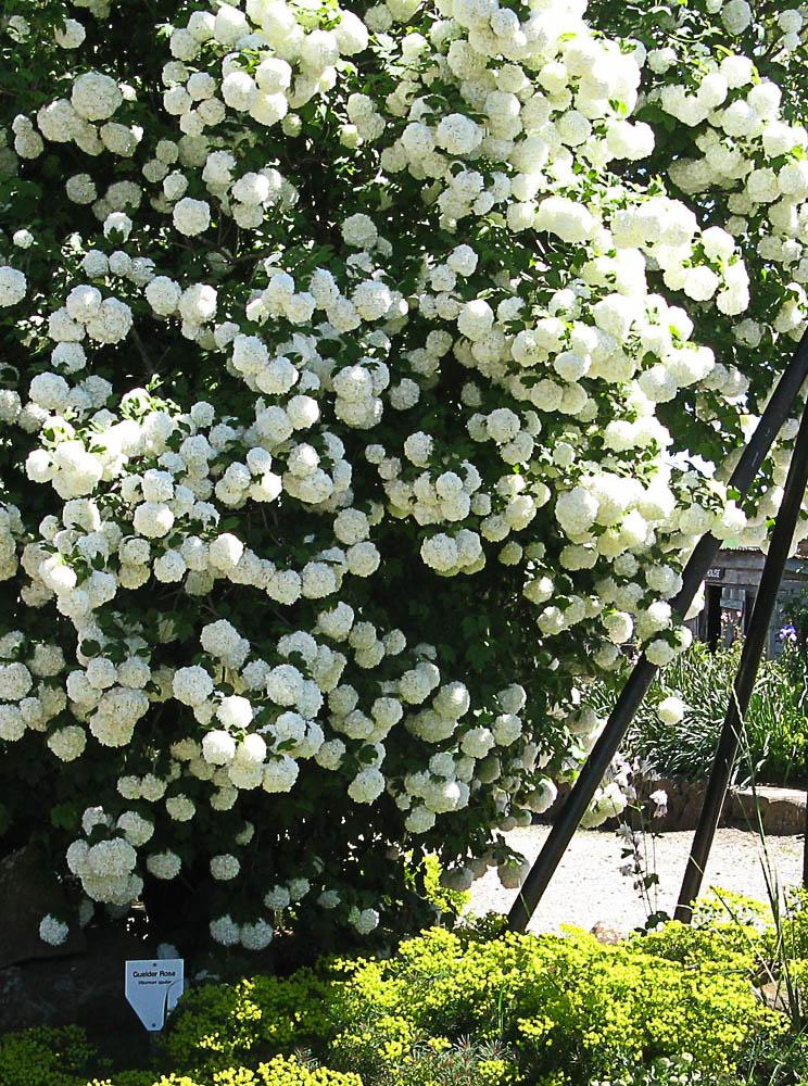 V. opulus or 'Guelder Rose'.