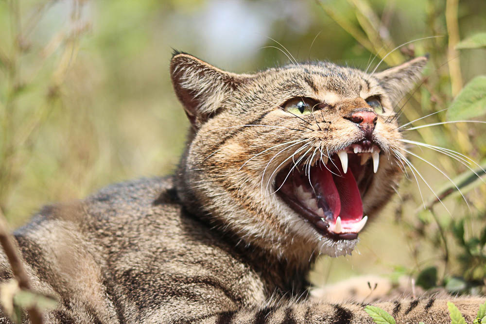 Plans are underway to change cat ownership requirements to combat the feral cat problem. Photo by Andrew Cooke, courtesy of Invasive Animals Cooperative Research Centre.