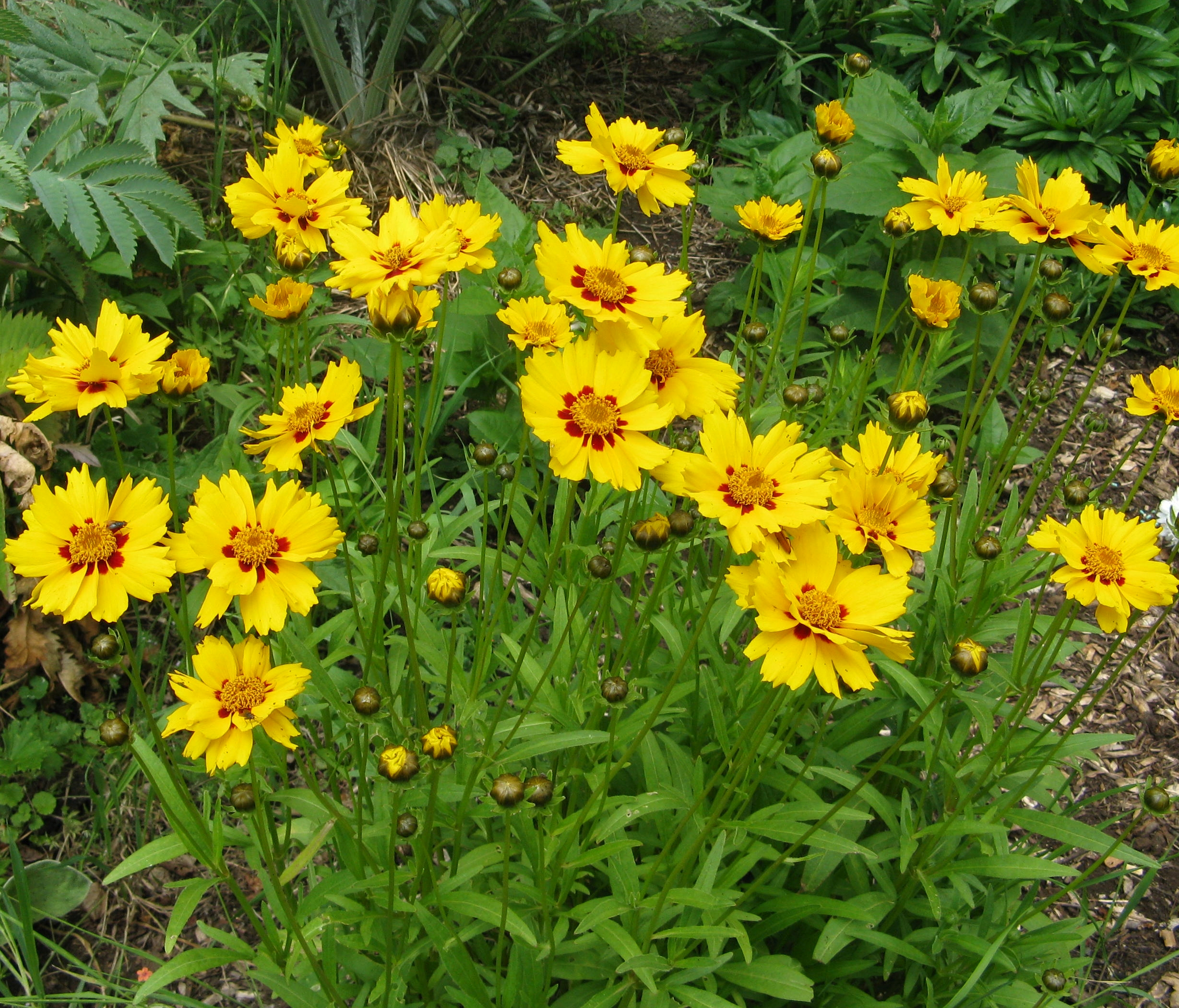 The metre high Coreopsis grandiflora; common name 'Tickseed'