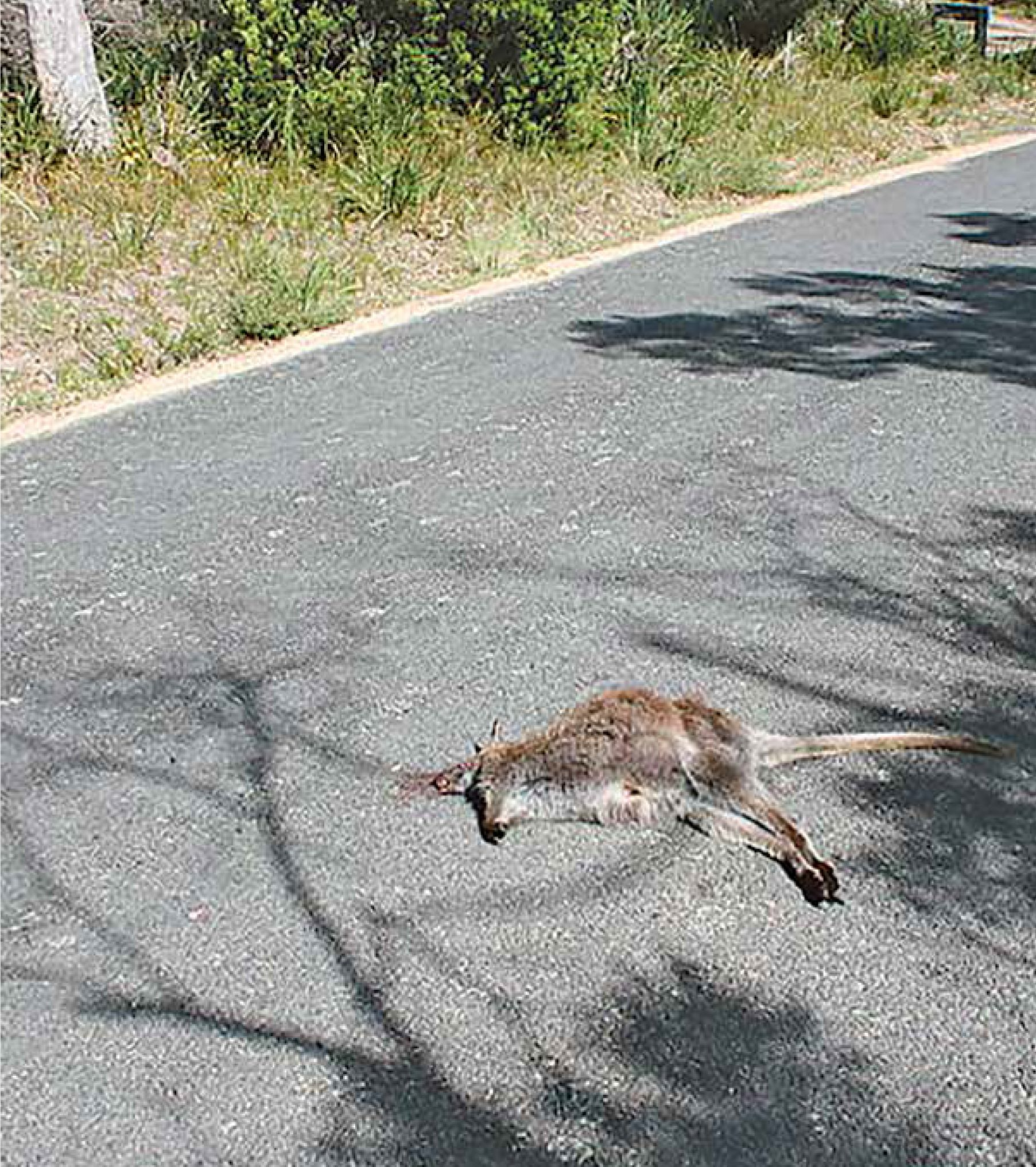 Roadkill, a common sight on Tasmanian roads.   Photo | Diego Delso