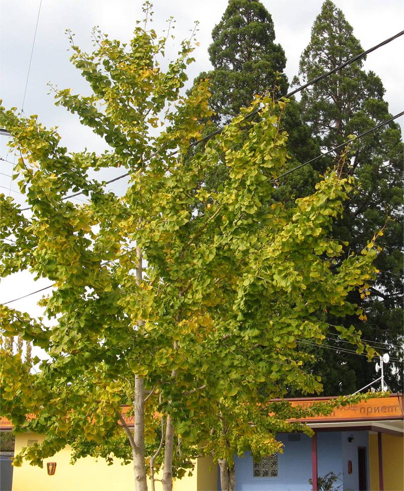 Gingko biloba , the Maidenhair tree.  Photo supplied