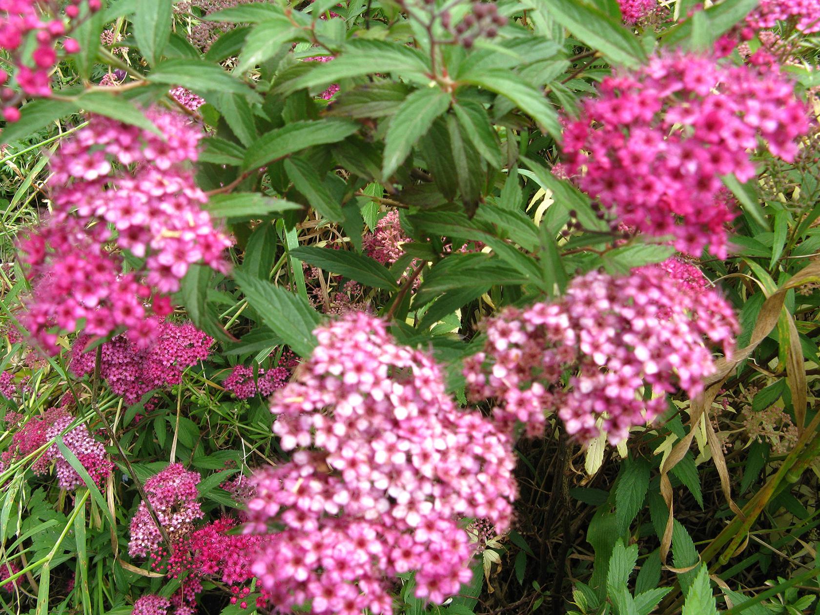The hardy  Spiraea x bumalda .  Photo supplied