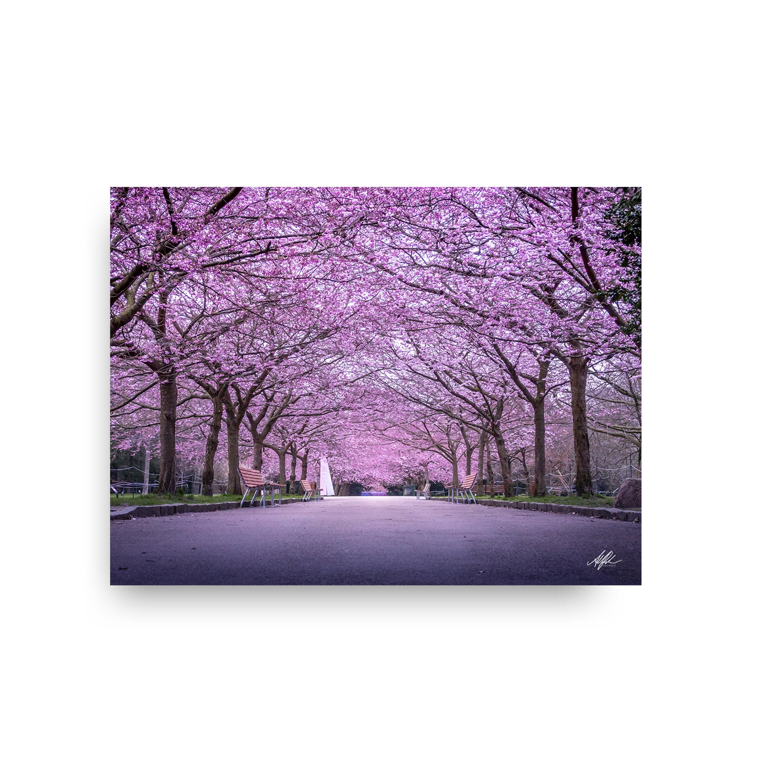 Cherry Blossom - Sakura Season 2019 - Alantherock