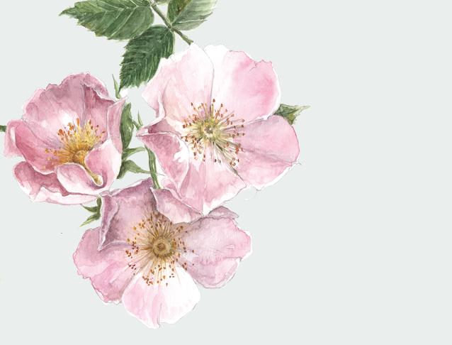 Wild Rose Original Watercolour Illustration for The Empowered Entrepreneur, by Gail Jones of  Starkeys Lane.