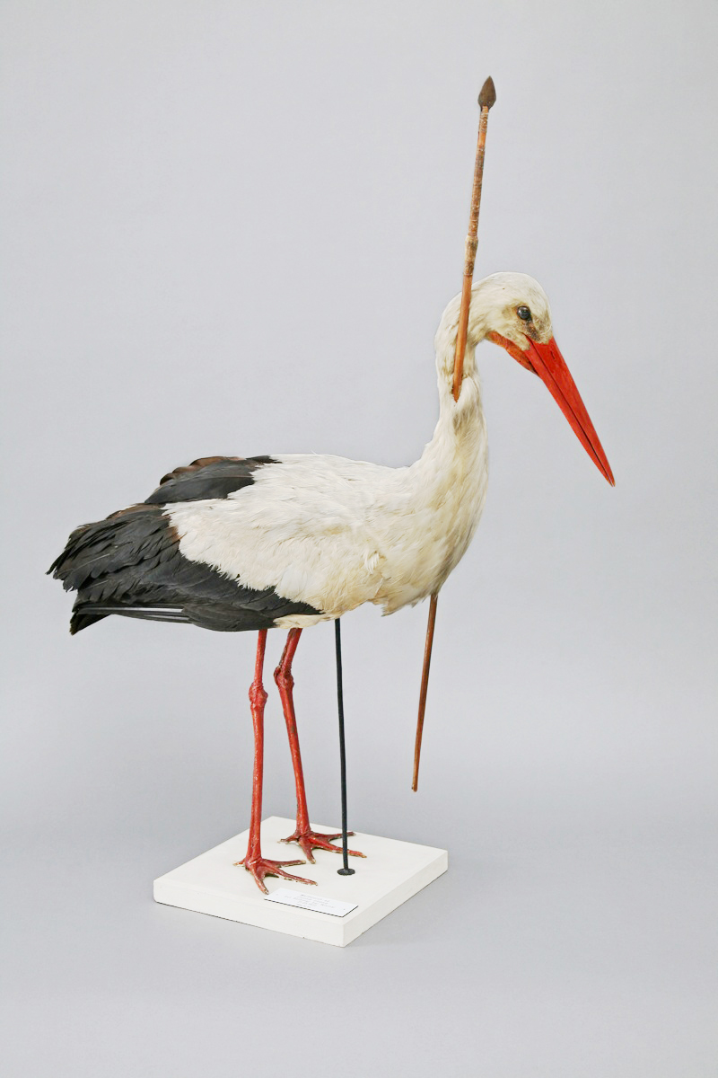 The  Rostocker Pfeilstorch , found in 1822, demonstrated that birds migrated rather than hibernating or changing form in winter. Image: Wikipedia.