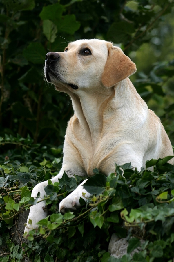 It all started with a yellow Lab named Mikey ... -