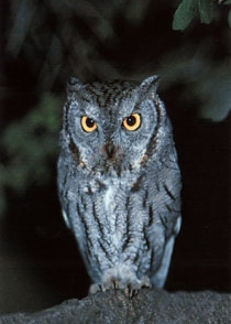 Western Screech Owl    ©2000    Jim Burns   . All Rights Reserved