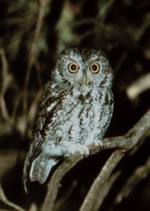 Whiskered Screech Owl    ©2000    Jim Burns   . All Rights Reserved
