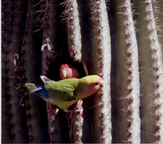 Peach-faced Lovebirds exploring saguaro cavity, Scottsdale, 28 February 1998.    Photo by    Greg Clark   . ©1998, Greg Clark
