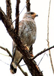 Gray-Hawk.jpg