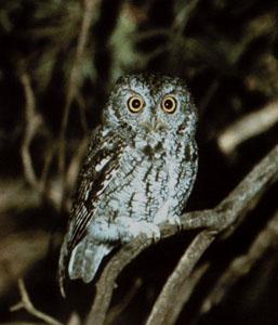 Whiskered-Screech-Owl-1.jpg