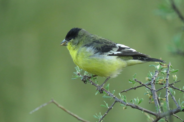 Lesser Goldfinch at Boyce Thompson Arboretum