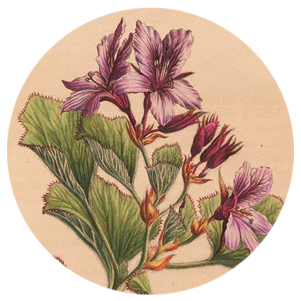 nayana-pelargonium.png