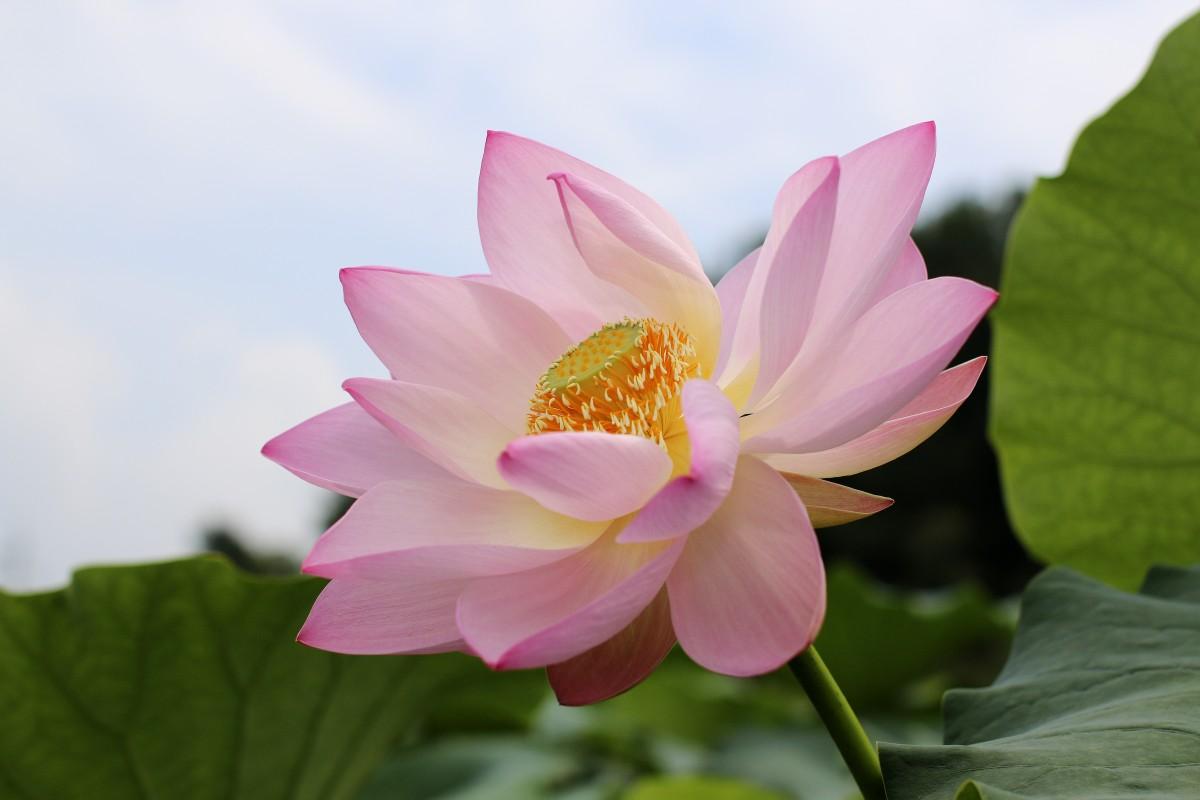 lotus_flowers_beauty_the_beauty_natural_rose_petals_watering_the_plants_ao_gun_cotton-594345.jpg!d.jpg