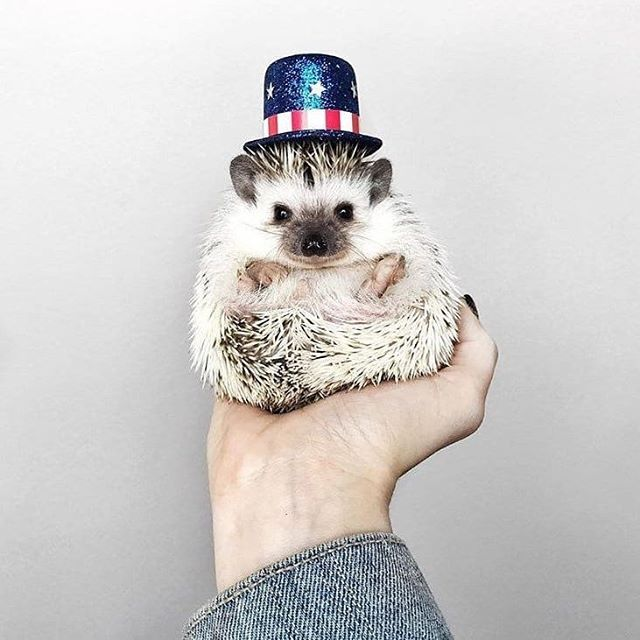 "Because what else really says ""Happy 4th"" quite like a cute hedgehog in an American themed hat... 🇺🇸 🦔🎩 🎉 #4thofjuly #happyindependence"