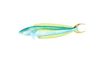 Blueline Tilefish