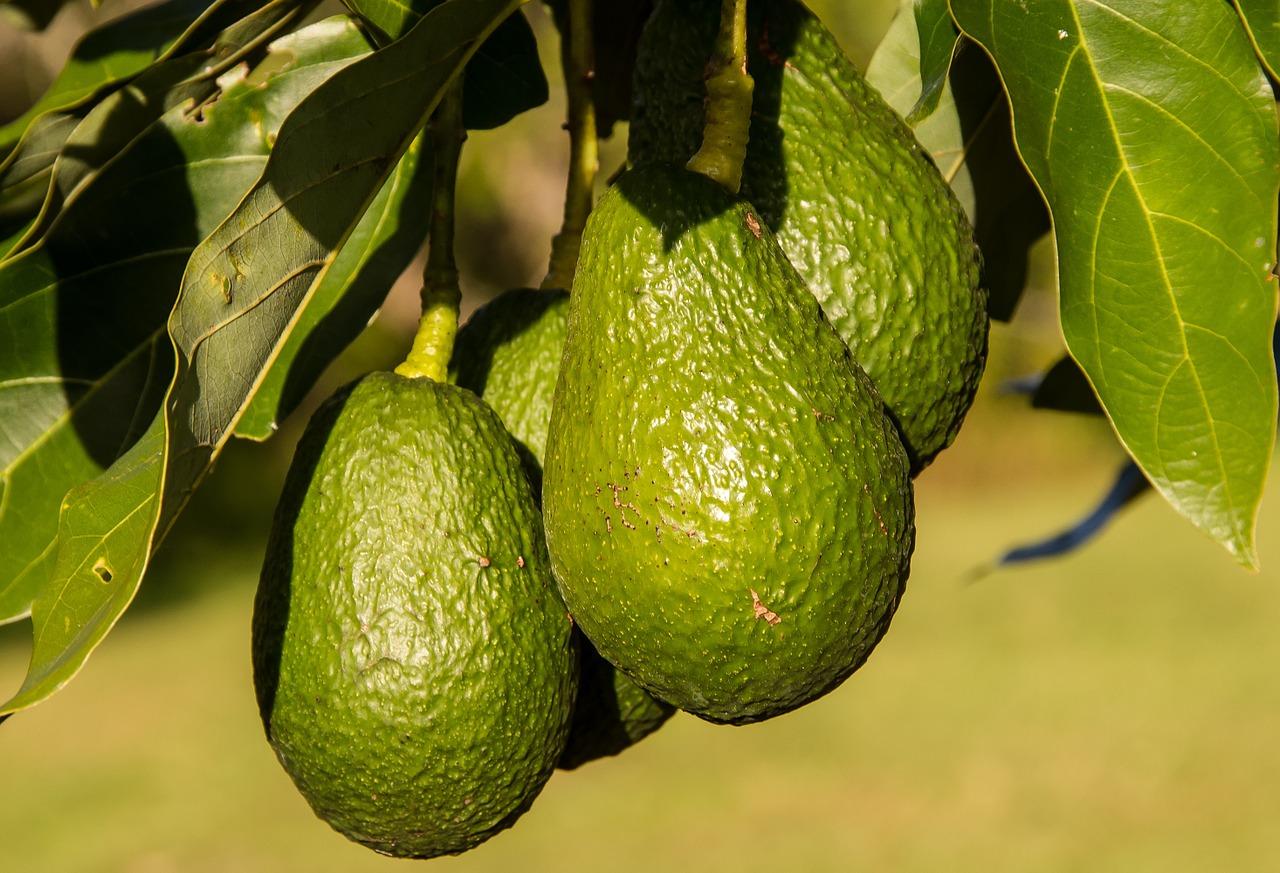 Hass-Avocado-Tree-Green-Fruit-Food-Avocados-945418.jpg