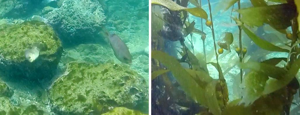 ウニを除去した後の海藻再生の様子: 9日経過(写真左)、24日経過(写真右)(動画提供:The Bay Foundation)