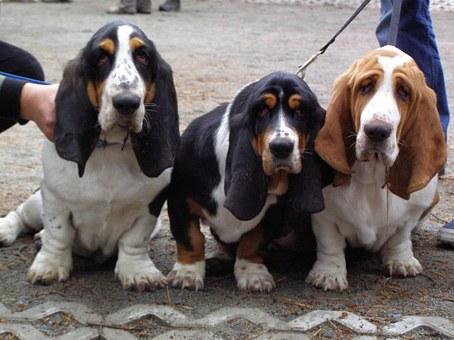 basset-hounds-883517__340.jpg