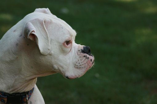 boxer-dog-2817468__340.jpg