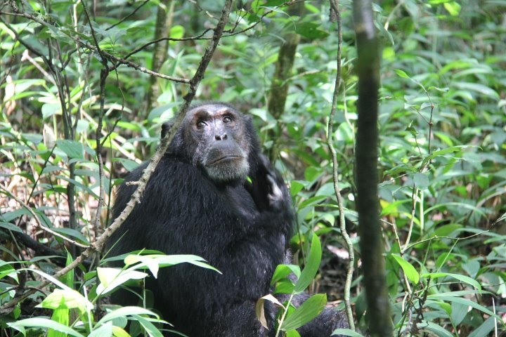 chimp_kibale_lh.jpg