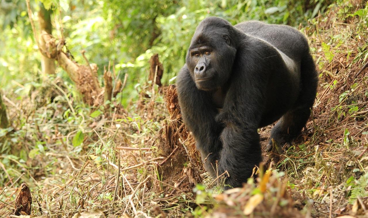 Nkuringo silverback Gorilla_lyndsay harshman photo.JPG