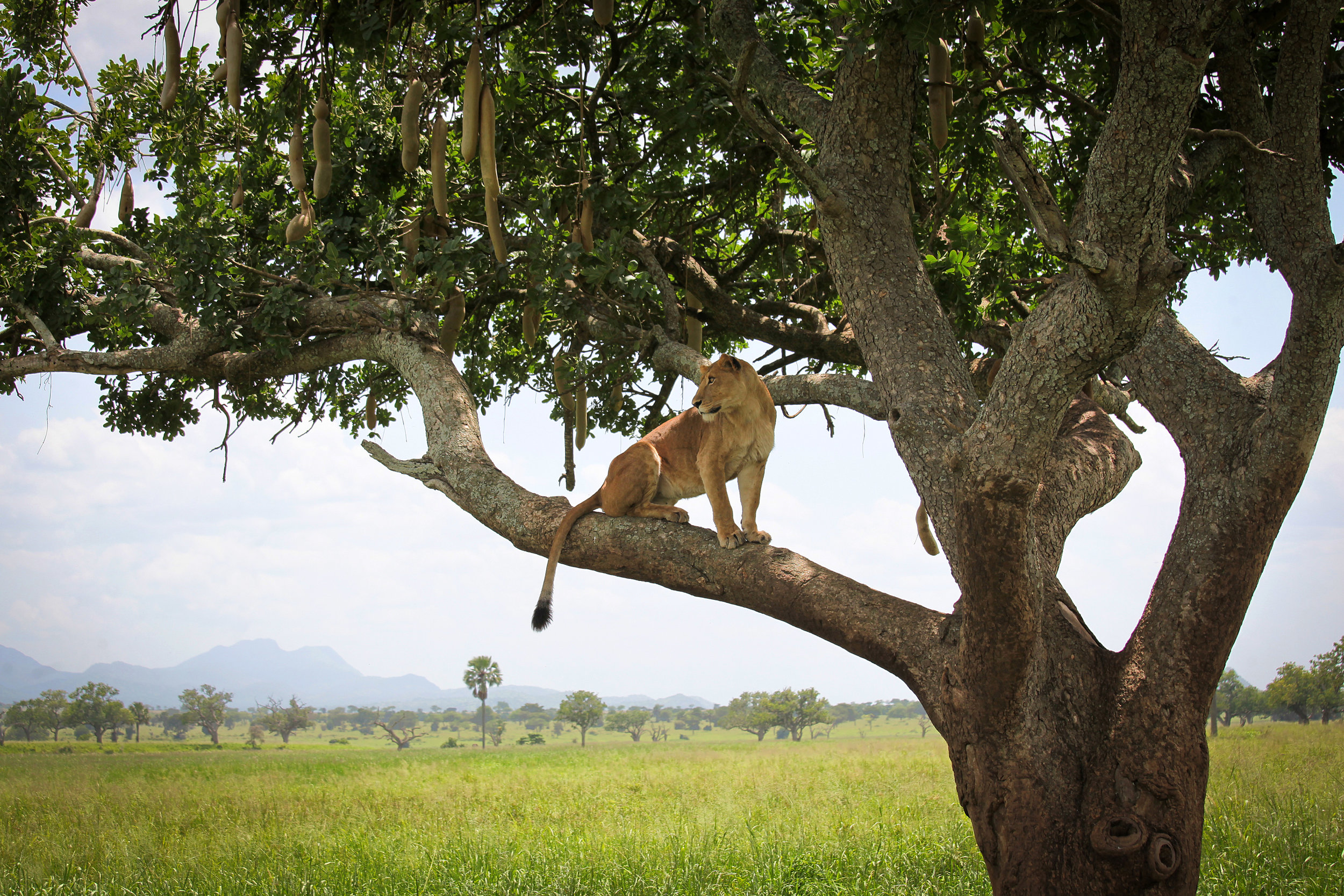 Tree Climbing Lions - Kidepo National Park