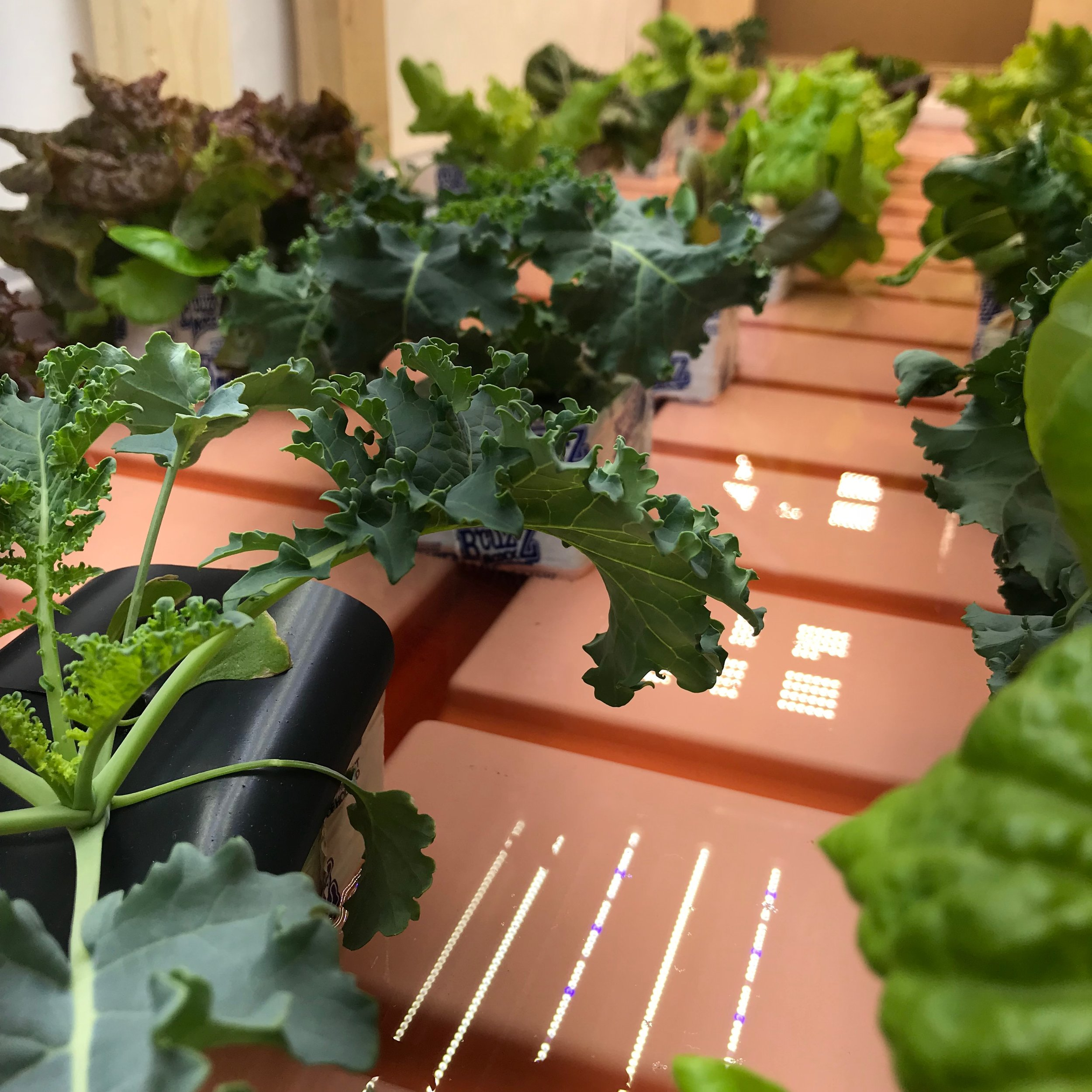 Kale_Lettuce early.jpg