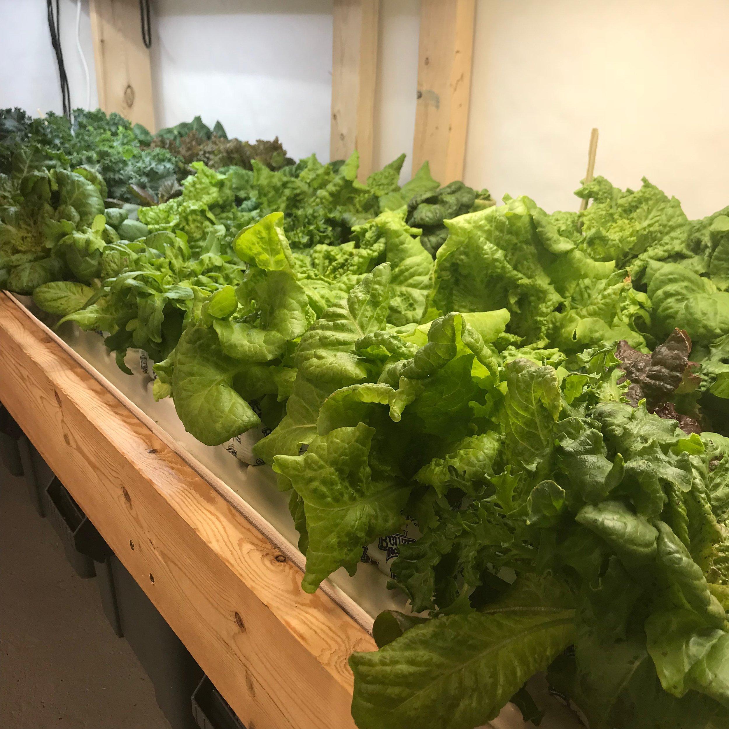 Lettuce Full.jpg